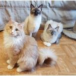 Котята, три братика, примерно 11 месяцев, Екатеринбург