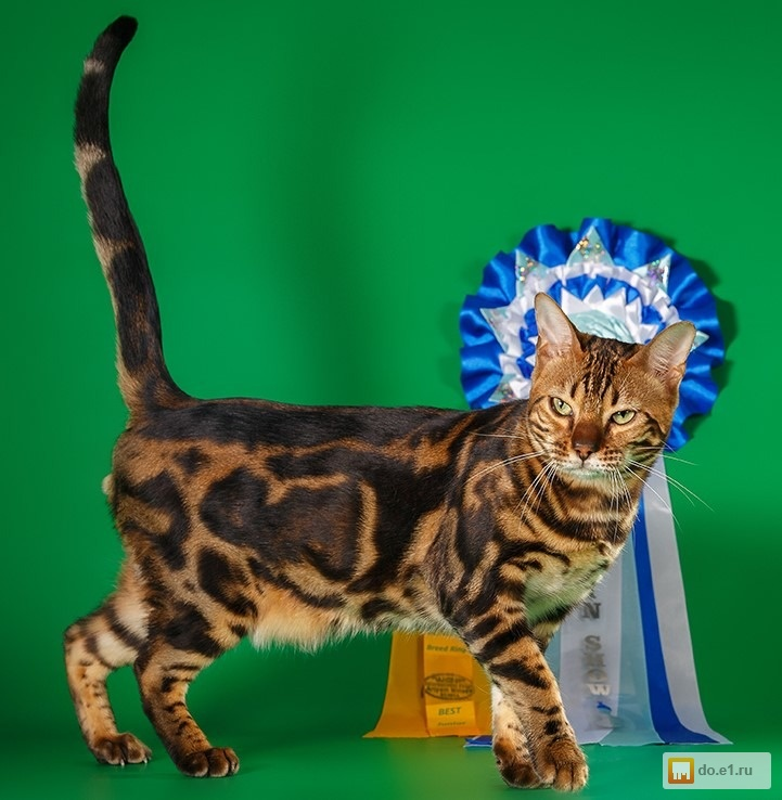 Бенгальские коты в екатеринбурге