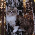 Сибирские котята из питомника, Екатеринбург
