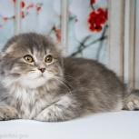 Шотландский котик, Екатеринбург
