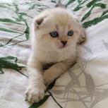 Шотландские вислоухие котята с лазурными глазами, Екатеринбург