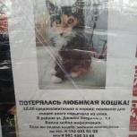Пропала трехшерстная кошка!, Екатеринбург