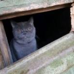 Найден кот. Британец, Екатеринбург