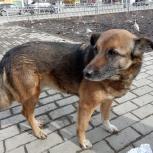 Помощь, приютить собаку,найти хозяина, Екатеринбург