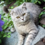 Амалия, 1г, кошка-краса, Екатеринбург