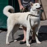 Найден белый пес, хаски /метис, Екатеринбург
