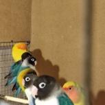 Попугай неразлучники, Екатеринбург