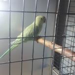 Продается попугай, Екатеринбург