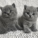 Британские голубые котята, Екатеринбург