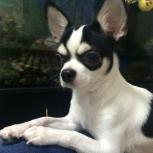 Потерялась собака чихуахуа черно-белый окрас район Шарташ, Екатеринбург