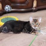 Экзотический котик ищет хозяина, Екатеринбург