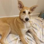 Найдена рыжая ушастая собака, Екатеринбург