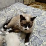 Сиамские котята, Екатеринбург