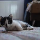 Котенок черно-белый, Екатеринбург