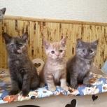 Питомник британских кошек, Екатеринбург
