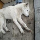 Найдена собака похож на хаски, Екатеринбург