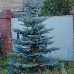 Продам голубую ель, Екатеринбург