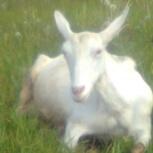 продается коза, Екатеринбург
