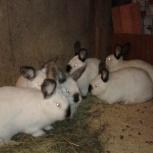 Кролики Калифорнийской породы. Возраст 6 мес, Екатеринбург