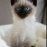 Ищу сиамского котенка 1-1,5  месяца , мальчика, Екатеринбург