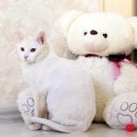 Срочно! Ищем «отбеливатель» для кота беляшика (1г.)!, Екатеринбург