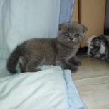 породистые шотландские котята, Екатеринбург
