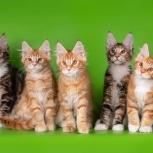 Крупные котята мейн-кун из питомника, Екатеринбург