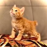 Продается котёнок курильского бобтейла, Екатеринбург