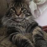 Вязка кота породы Мейн-кун, Екатеринбург