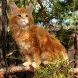 Котята породы мейн-кун из питомника, Екатеринбург