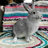Кролик шиншилла, бургундские, ангорки, Екатеринбург