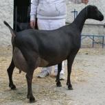 коза ламанчи, Екатеринбург
