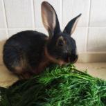 Крольчата черно-огненный рекс, кролик, Екатеринбург