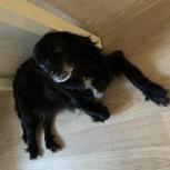 Отдам даром собаку кокер-спаниель, Екатеринбург