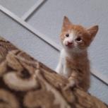 очаровательный рыжий котенок 2 мес, Екатеринбург