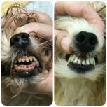 Ультразвуковая чистка зубов у собак без наркоза!, Екатеринбург