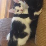 Хрупкая красавица кошка Симочка возраст 2-2,5 месяца,ищет любящий дом, Екатеринбург