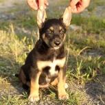 Голубоглазый щенок Рэксик-сурьезный малыш, в дар, Екатеринбург