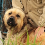 Найден крупный рыжий пес, Екатеринбург