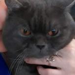 Вязка с британским котом, Екатеринбург