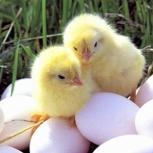 Яйцо домашнее, Екатеринбург