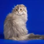Шотландский вислоухий кот приглашает на вязку, Екатеринбург