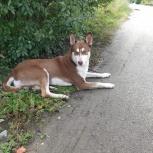 Найдена собака - метис хаски, Екатеринбург