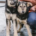 Собаки Тики и Тави в добрые руки!, Екатеринбург