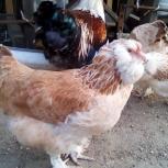 Фавероль лососевая, цыплята, яйцо., Екатеринбург