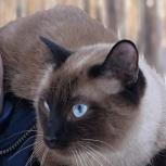 Потерялся сиамский кот, Екатеринбург
