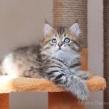 Сибирский котенок из питомника, Екатеринбург
