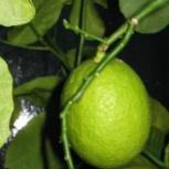 Лимон плодоносящий, Екатеринбург