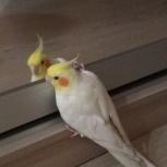 Потерялся попугай карелла, Екатеринбург