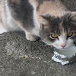 Найдена трехцветная кошка, Екатеринбург